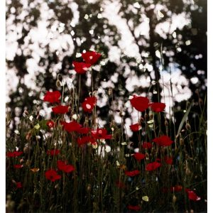 "Dianne Bos, ""Ploegsteert Poppies and Falling Stones"", 2015"
